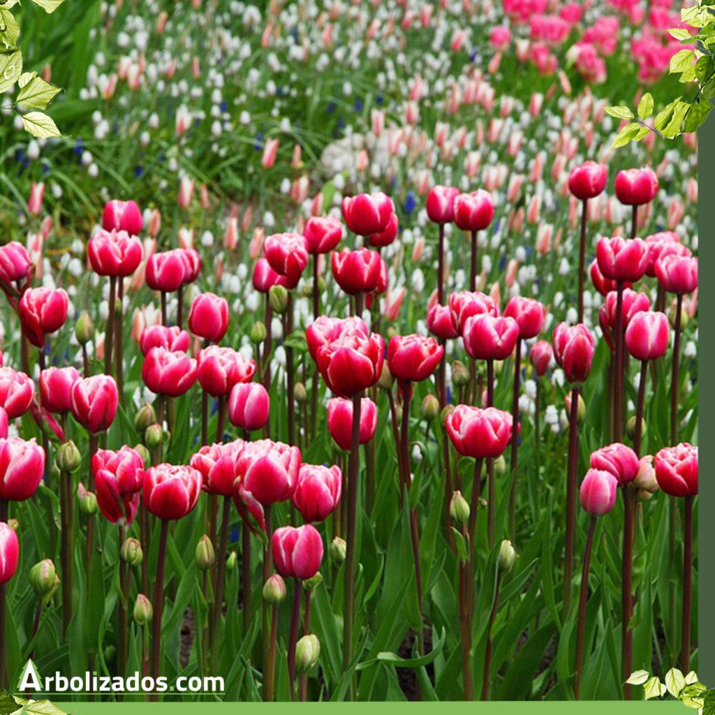 Jardín  de Tulipanes color rojo