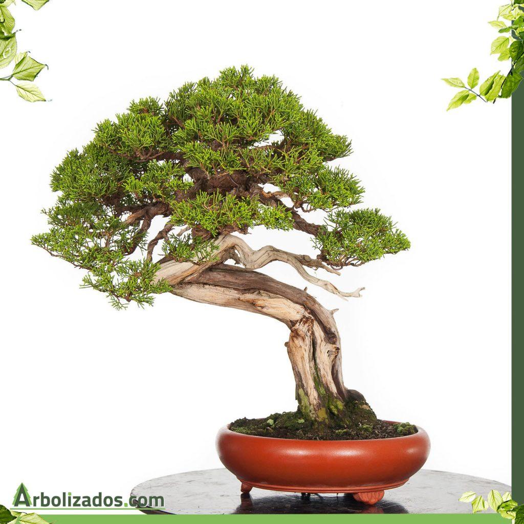 Bonsai De Junipero Y Sus Cuidados Arbolizados La Web De Jardineria
